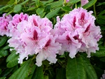 Rhododendron (Le Progress) foto