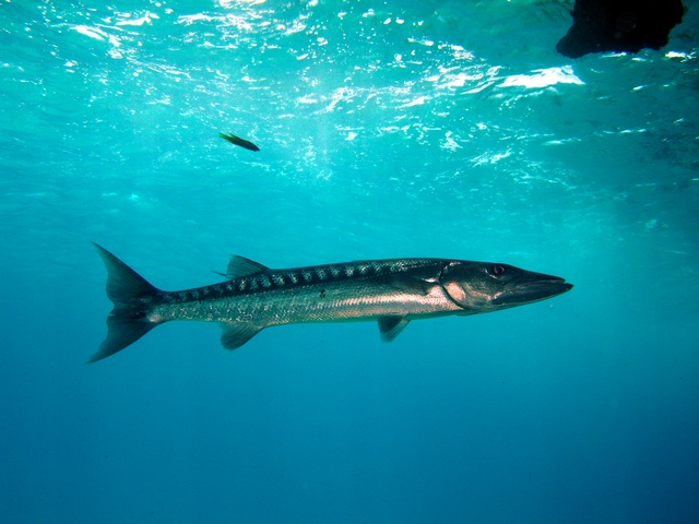 Sphyraena barracuda