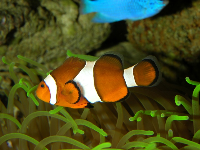 Clownfisk (Amphiprion ocellaris)