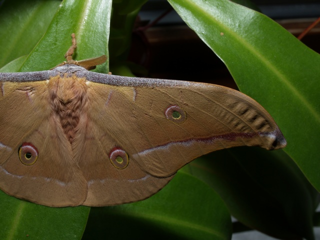 Antheraea pernyi