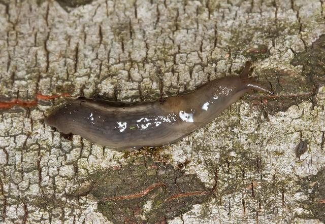 Limax marginatus