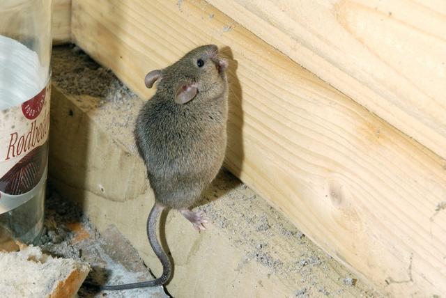 Husmus mus musculus biopix foto 40663 - Como cazar ratones en casa ...
