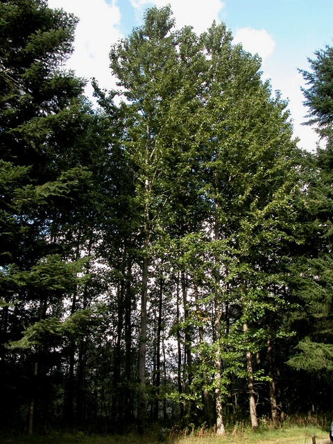Jättepoppel populus trichocarpa