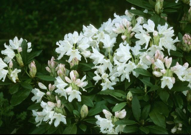 rhododendron cunninghams white biopix foto 31790. Black Bedroom Furniture Sets. Home Design Ideas