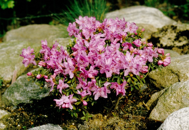 Rhododendron (Pink drift)