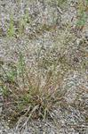 bergven (Agrostis vinealis)