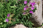 Erodium castellanum
