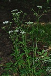 Stor Bockrot (Pimpinella major)