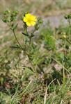 rysk fingerört (Potentilla inclinata)
