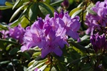 Parkrhododendron (Rhododendron catawbiense)
