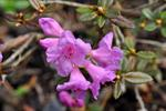 Lapsk Alpros (Rhododendron lapponicum)