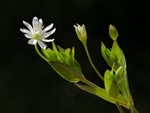 Sumparv (Stellaria crassifolia)