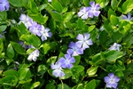 Stor vintergröna (Vinca major)