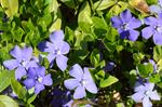 Vintergröna (Vinca minor)
